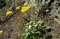 Eriogonum compositum.jpg