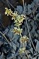 Eriogonum encelioides inflorescence.jpg