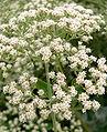 Eriogonum giganteum 3.jpg
