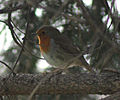Erithacus rubecula (Madrid, Spain) 01.jpg