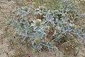 Eryngium maritimum kz15.jpg
