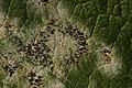 Erysiphe sp. on Salix caprea (26788772489).jpg