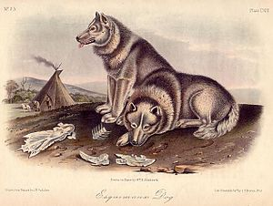 "Canadian Eskimo Dog - An illustration of a print of ""Esquimaux dogs"" after John Woodhouse Audubon from The Quadrupeds of North America"