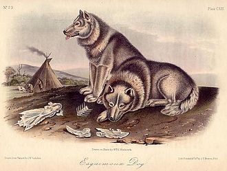 """Canadian Eskimo Dog - An illustration of a print of """"Esquimaux dogs"""" after John Woodhouse Audubon from The Quadrupeds of North America"""