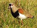 Esterros de Farrapos - Vanellus chilensis 3.jpg