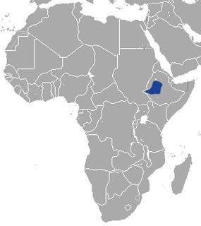 Ethiopian hare species of mammal