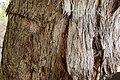 Eucalyptus polyanthemos (23908875301).jpg