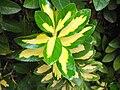 Euonymusjaponicuscultivar6.JPG