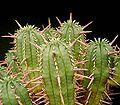 Euphorbia aggregata2 ies.jpg