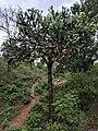 Euphorbia antiquorum 10.jpg