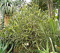 Euphorbia grandidens4 ies.jpg