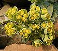 Euphorbia myrsinites6 ies.jpg