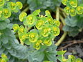 Euphorbia myrsinites Wolfsmilch.jpg