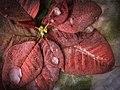 Euphorbia pulcherrima (Explore December 26, 2013) - Flickr - Anne Worner.jpg