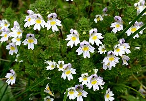 Doctrine of signatures - Eyebright was used for eye infections, from the supposed resemblance of the flower to an eye