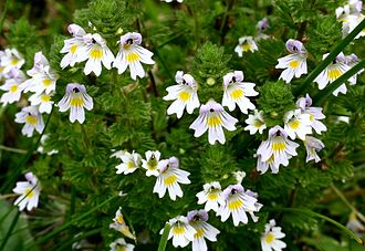 Doctrine of signatures - Eyebright was used for eye infections, owing to the supposed resemblance of its flower to an eye.