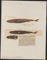 Euprotomicrus labordii - 1700-1880 - Print - Iconographia Zoologica - Special Collections University of Amsterdam - UBA01 IZ14100181.tif