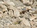 Eurasian Sparrowhawk (Accipiter nisus) (37767005002).jpg