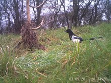 Fișier:Eurasian magpie (Pica pica) in the UK.webm