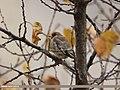 European Goldfinch (Carduelis carduelis) (15707934740).jpg