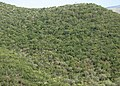 Evergreen, mediterreanean forest - panoramio.jpg