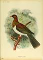 Extinctbirds1907 P21 Hemiphaga spadicea0323.png