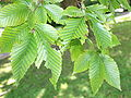 Fagus grandifolia JPG1.jpg