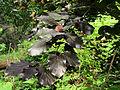 Fagus sylvatica 'Purpurea'.JPG