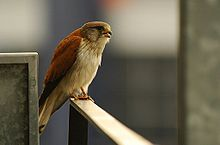 Falco cenchroides Flickr.jpg