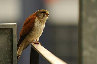 Nankeen kestrel - Image: Falco cenchroides Flickr