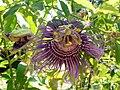 Fale - Giardini Botanici Hanbury in Ventimiglia - 495.jpg