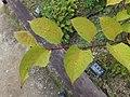 Fallopia japonica japonica 02.jpg