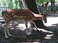 Fallow Deer - panoramio.jpg