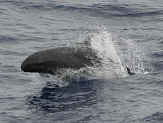 False killer whale 890002 cropped 2.jpg