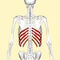 False ribs back2.png