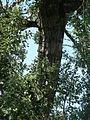 Famous tree Topol bílý v Pozorce in 2013 (3).JPG