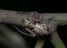 Female Red Lynx Spider.jpg