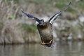 Female duck.BDT3816.jpg