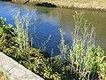 Fenouil à Capbreton (sauvage) au pont Lajus2.jpg