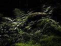 Ferns and mosses in Gullmarsskogen ravine - low.jpg