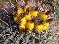Ferocactus wislizeni (Fishhook Barrel Cactus) fruit.jpg