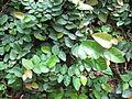 Ficus Pumila - മതിൽപറ്റി 02.JPG