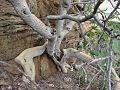 Ficus abutilifolia02.jpg