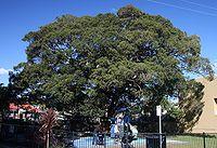 Ficus obliqua Kirsova PG Glebe sml