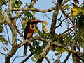 Fiery-billed Aracari DSC 5337.jpg