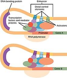 Clusterul de ovale care reprezintă complexul de preinițiere a transcripției este blocat în interiorul unui fir curbat de ADN, între regiunea promotor la un capăt și regiunea amplificator la celălalt.