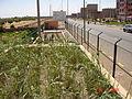 Filtre planté (constructed wetland) au ville de Attouia, Maroc (Morocco) (11055481795).jpg