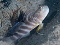 Flagfin shrimpgoby (Mahidolia mystacina) (48852625213).jpg