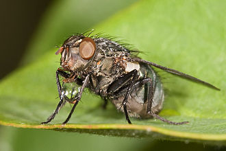 "Regurgitation (digestion) - Flesh fly, from the Sarcophagidae family ""blowing a bubble"". One explanation for this behaviour is that it concentrates the fly's meal by evaporation. The diet of the flesh fly is very high in water content. The fly regurgitates the liquid portion of the food, holds it while evaporation reduces the water content and the fly then swallows a much more concentrated meal without the water content. This continues until sufficient amount of liquid is left for the fly. - Australian Museum"