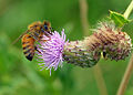 Flickr - Duncan~ - Bee and Thistle.jpg